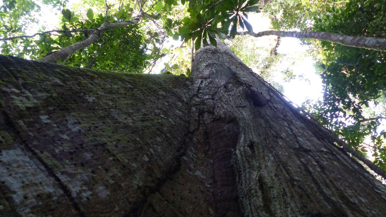 01 bosque ceiba P1240008 yachana ceiba