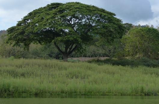 03 P2220145 SAMAN TREE