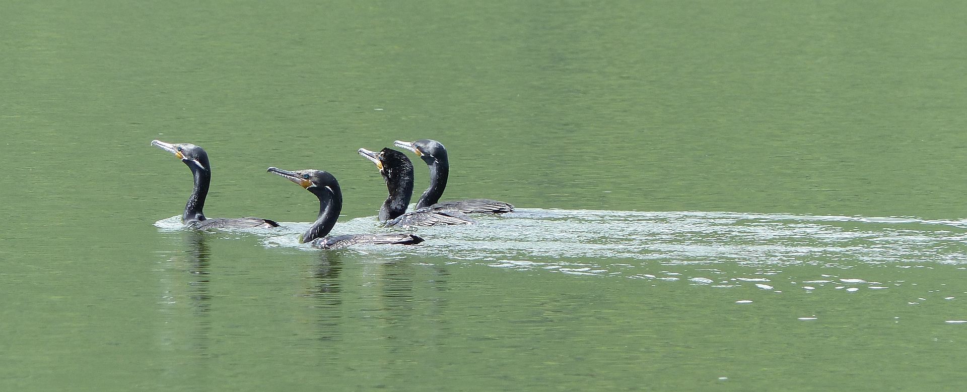 P2460721 cormorants
