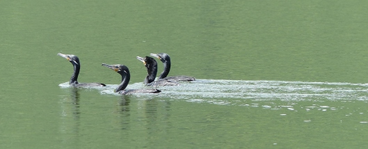 P2460721 cormorants