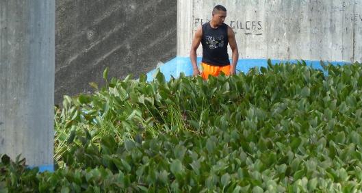 P2470395 man pulling water hyacinths