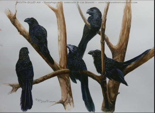 aa P24208960 smooth billed ani watercolor small file 13 x 16 paper 14 x 17