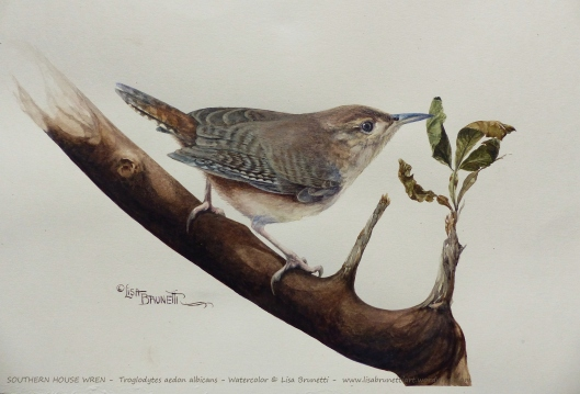 ww P2490504 SOUTHERN HOUSE WREN small FILE watercolor by Lisa Brunetti