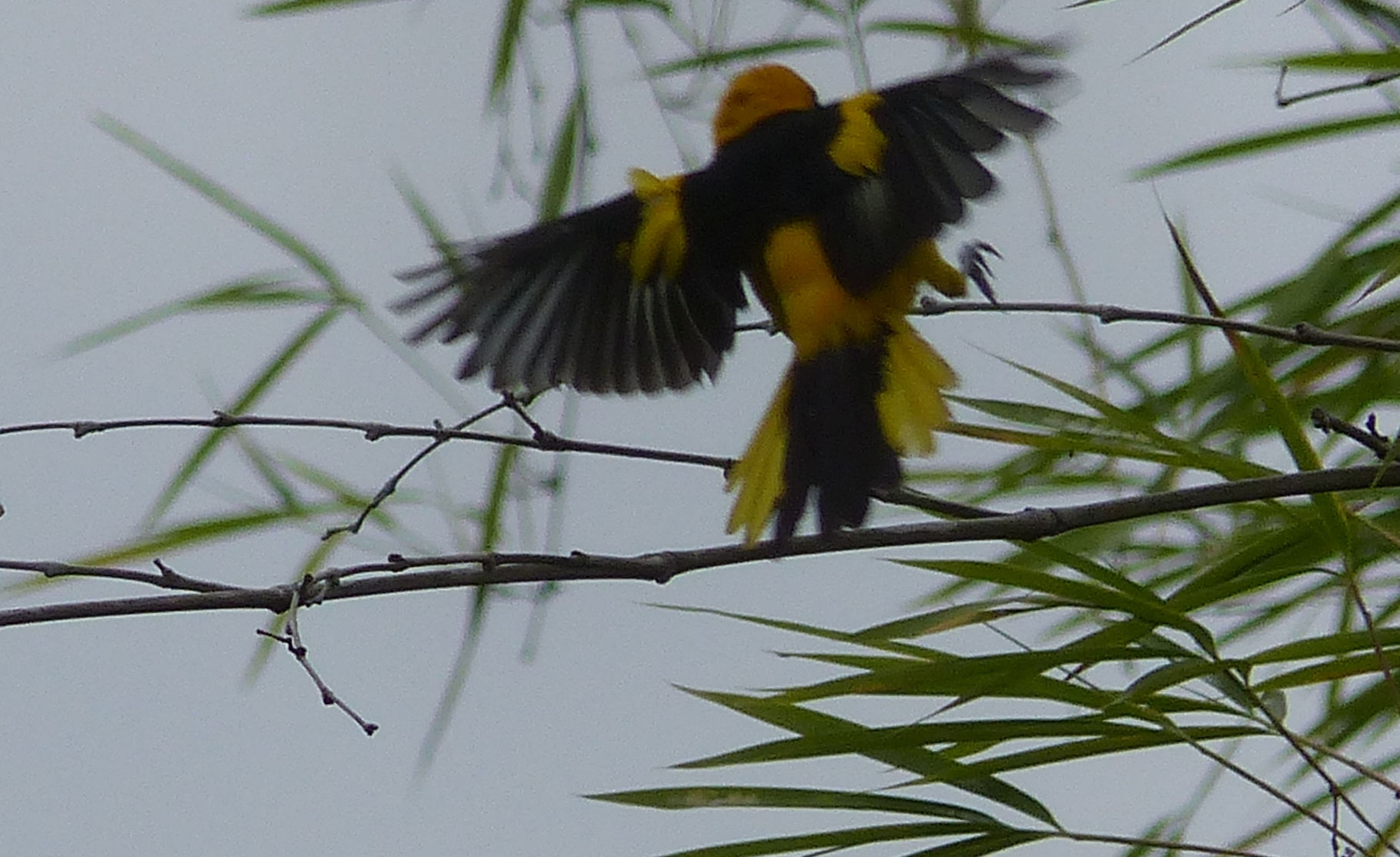 P1960684 yellow tailed oriole