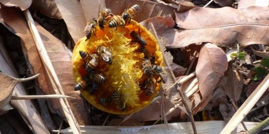 P2330054 bees y mango