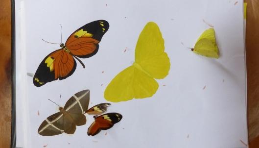 P2350140 melissas butterflies guache