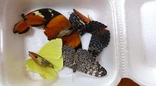P2350147 melissas butterflies