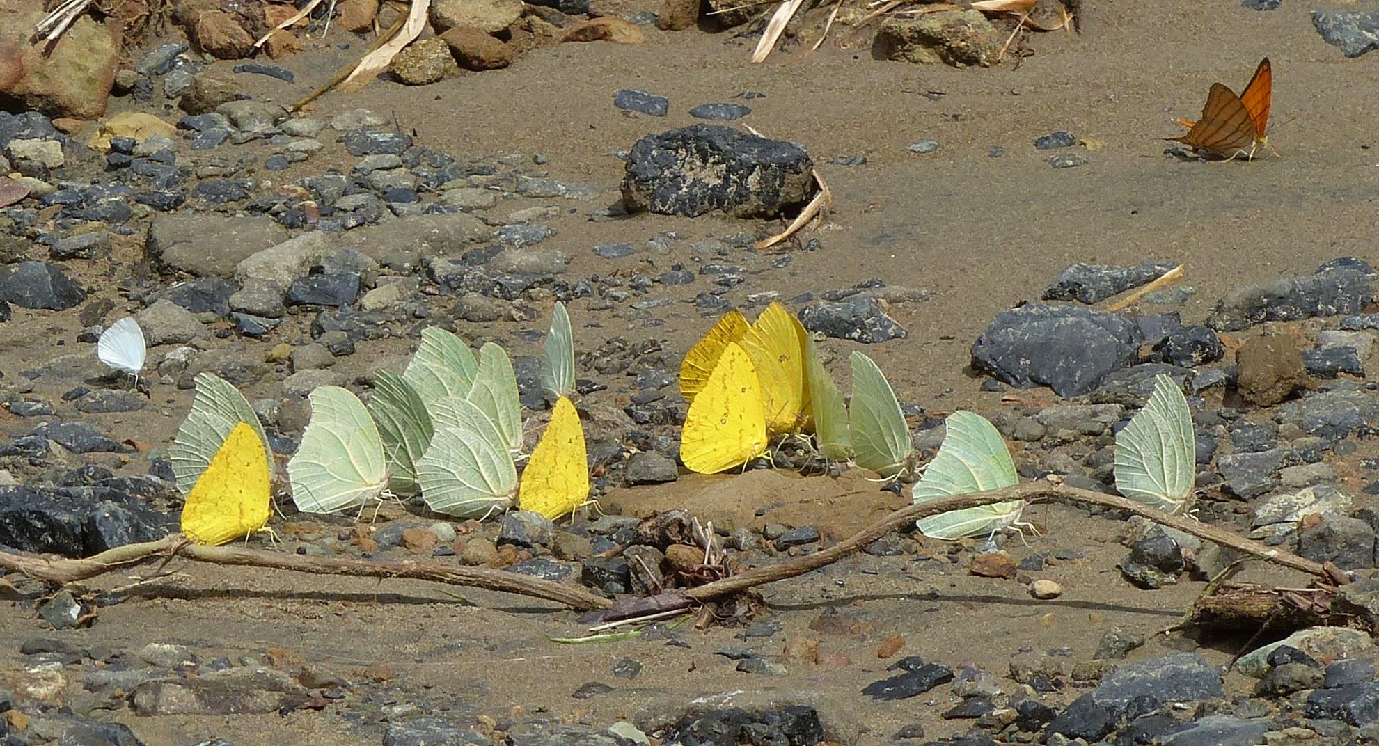 P2500556 butterflies on road by riochuelo mar 7