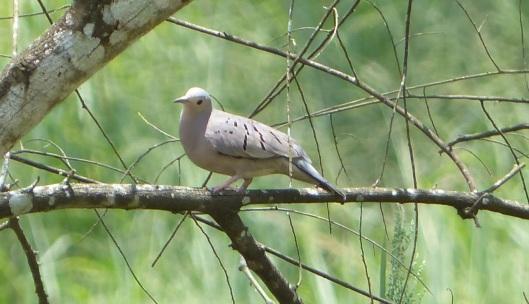 P2560476 ecuadorian ground dove