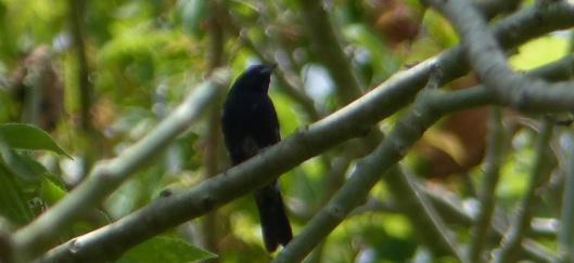 P2560547 blue black grassquit