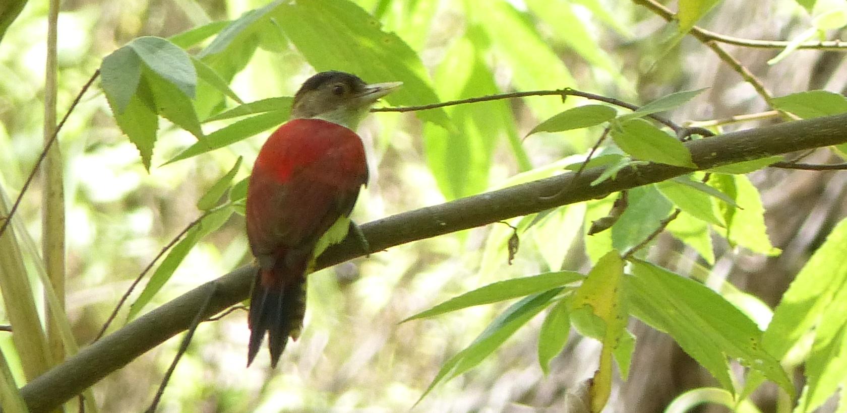 P2560661 scarlet backed woodpecker