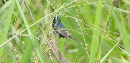 P2560894 SAME BIRD GRASSQUIT