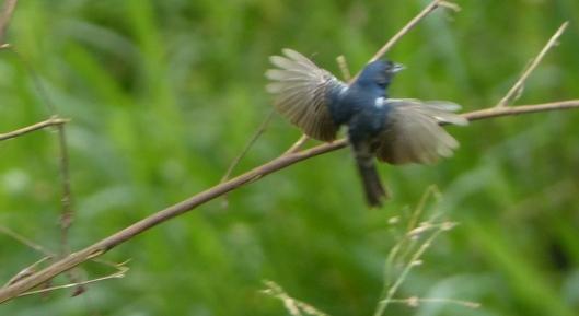P2570641 blue black grassquit