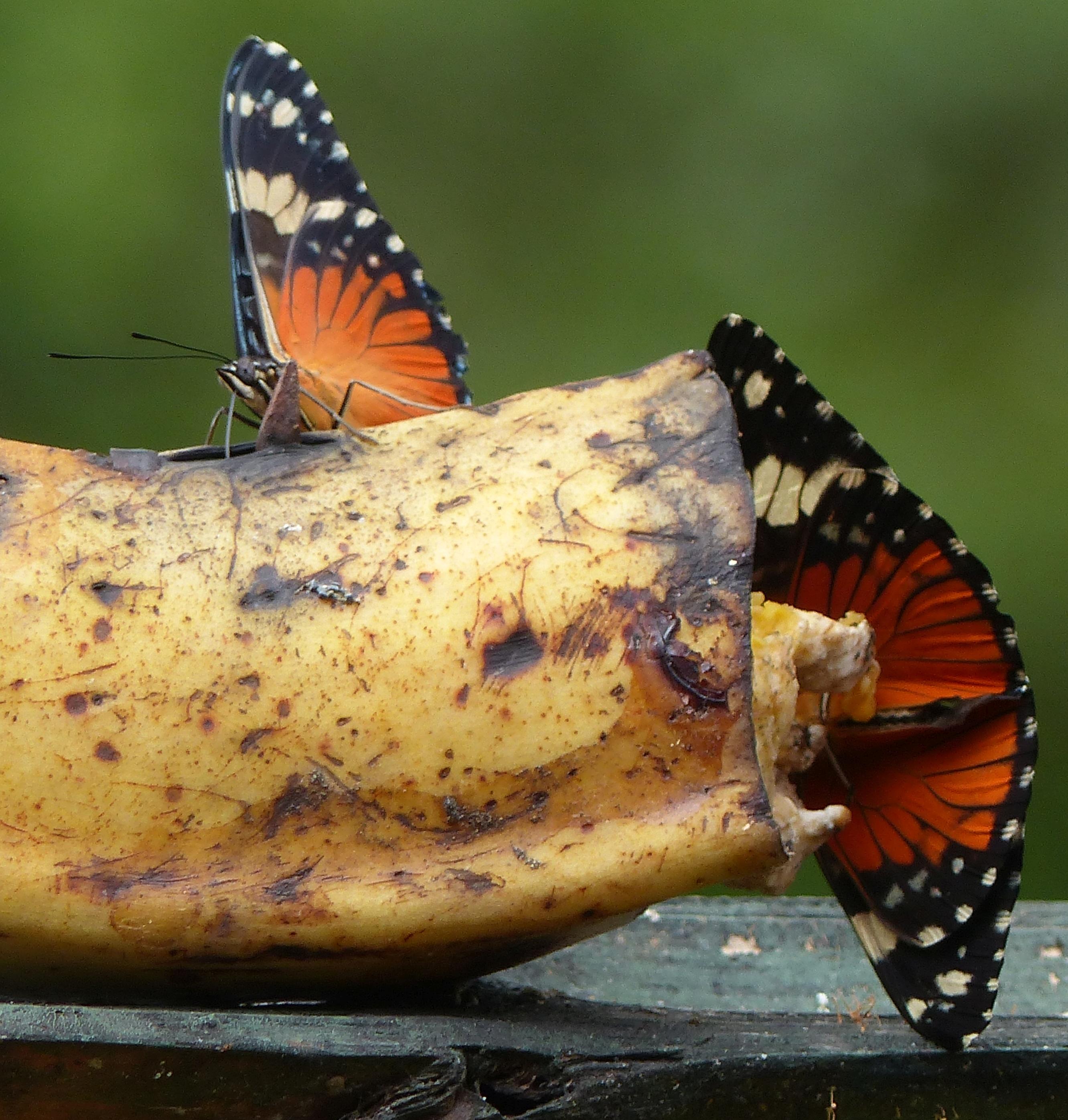 P2510589 orange butterflies