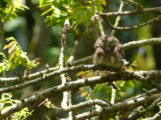 P2530532 between rains ONE OF TWO PERUVIAN PYGMY OWLS poza honda ecuador
