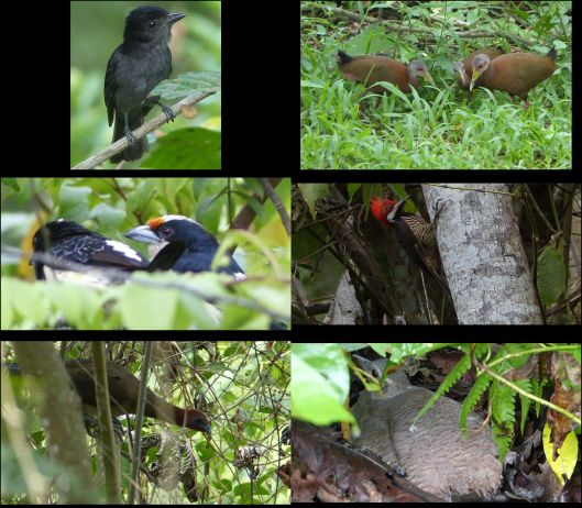 poza honda VIP birds on endangered vulnerable or near threatened - thumb