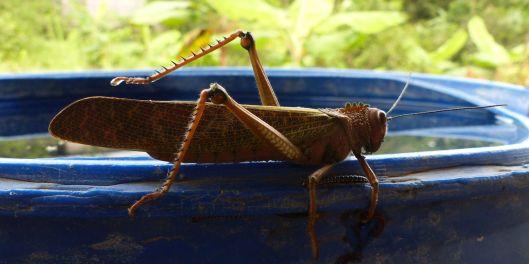 0 P2650506 grasshopper