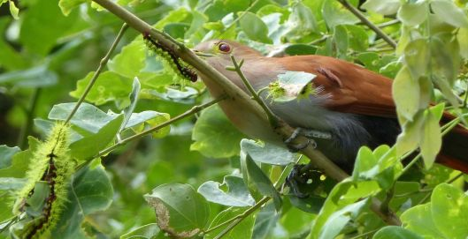 0 P2670571 SQUIRREL CUCKOO EATING CATERPILLARS cropped image