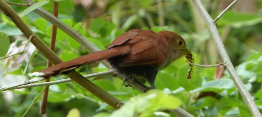 0 P2670579 SQUIRREL CUCKOO EATING CATERPILLAR poza honda ecuador small