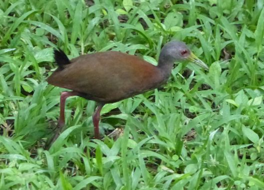 0 P2670950 juv wood rail i thought it was a rabbit