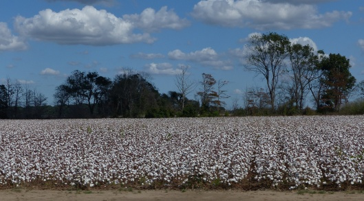 P2160885 mississippi harvest cotton