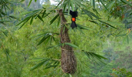 P2720309 scarlet rumped cacique y nest