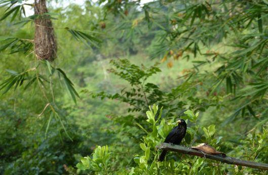 P2720330 scarlet rumped cacique y nest.jpg