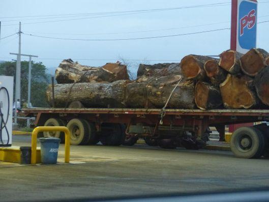 tree saman P2350807 jama the new ivory saman tree on truck
