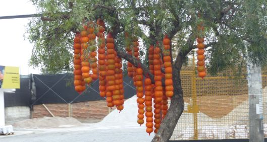 P2810123 mandarin tree cayambe