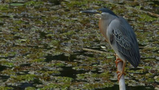 P2850434 STRIATED HERON