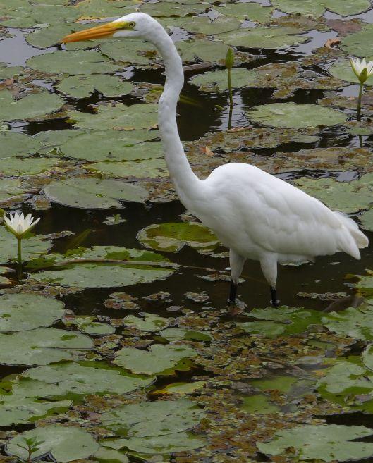 P2860098 great egret