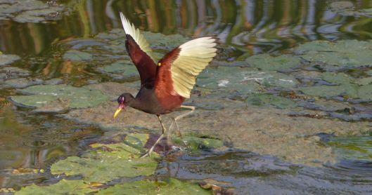 P2860313 wattled jacana wings