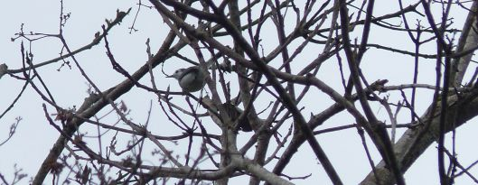 P2880841 TROPICAL GNATCATCHER Dec 30 just before 10 de Agosto