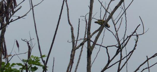P2880843 Golden Olive Woodpecker