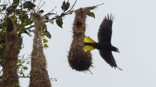 P2880940 oropendola leaving nest