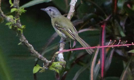 mystery bird P2440145 which bird