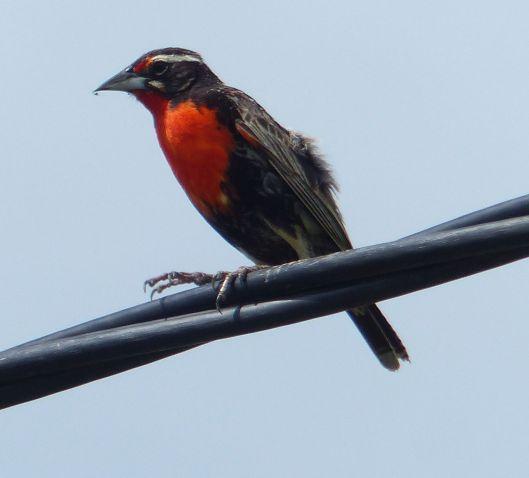 P2970305 peruvian meadowlark
