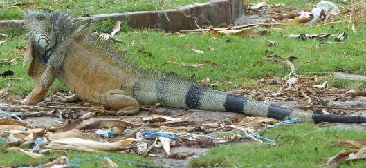 P2970640 park iguana