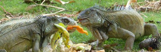P2970702 3 park iguanas header