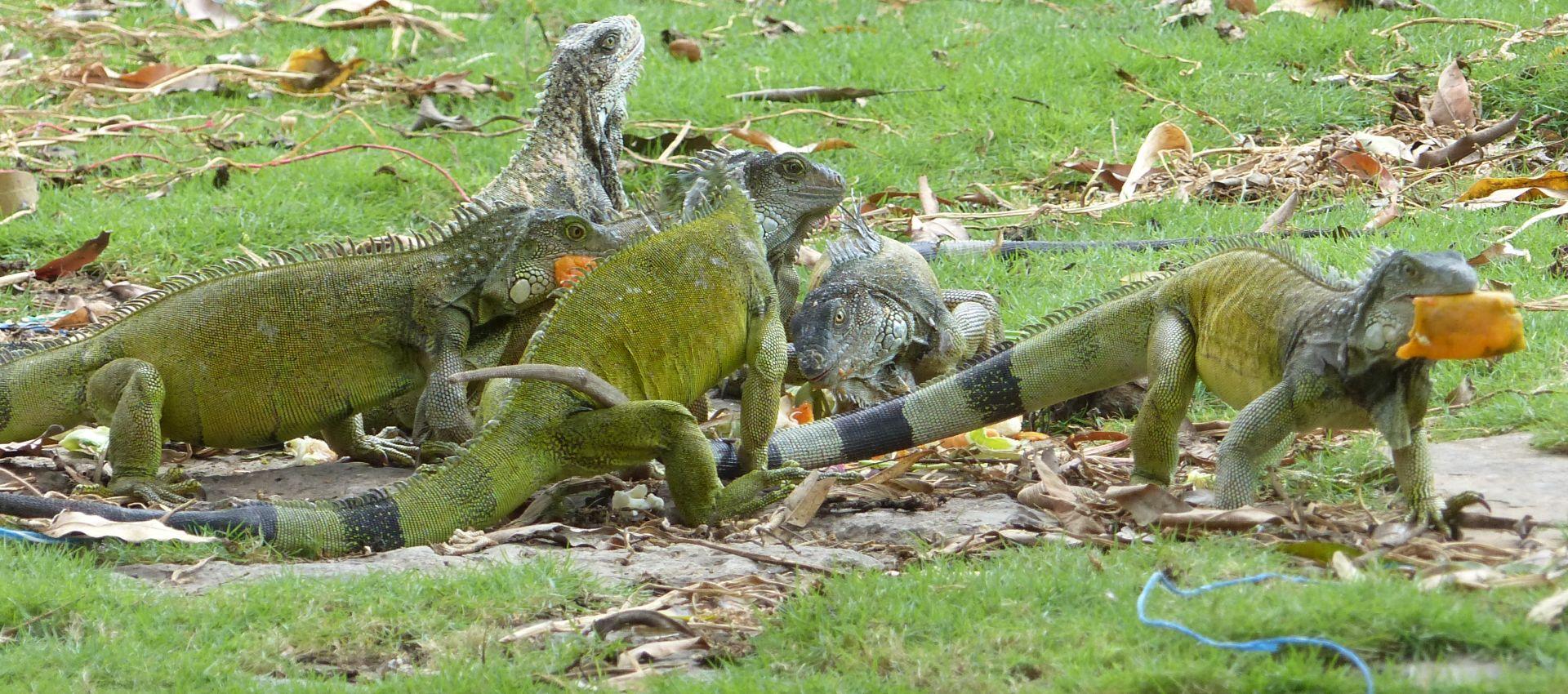 P2970706 six iguanas