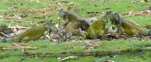 P2970726 8 iguanas