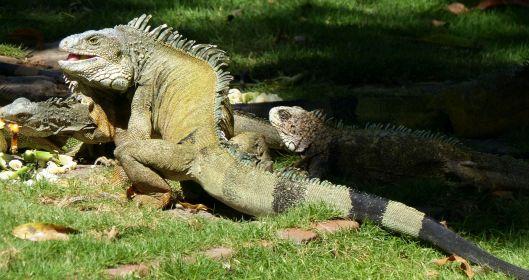 a P2980049 park iguanas