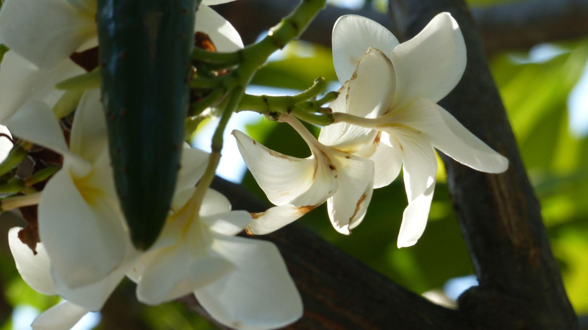 P2830687 white plumeria flowers