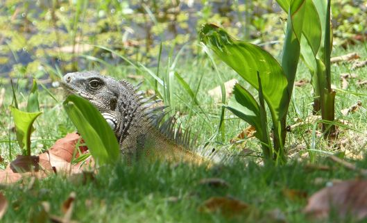 P2970373 iguana in sun