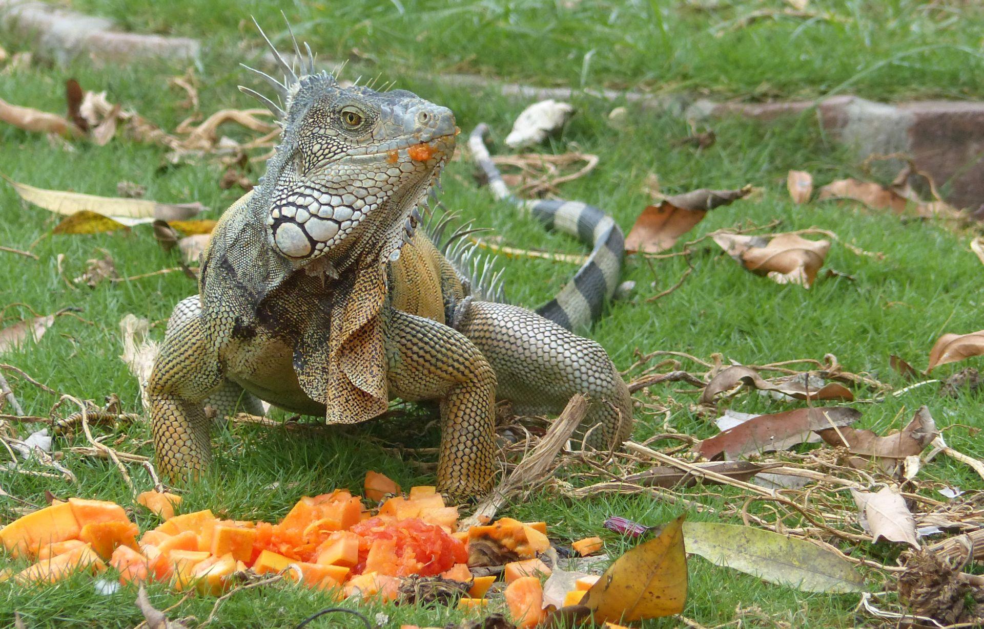 P2970832 got papaya ja iguana