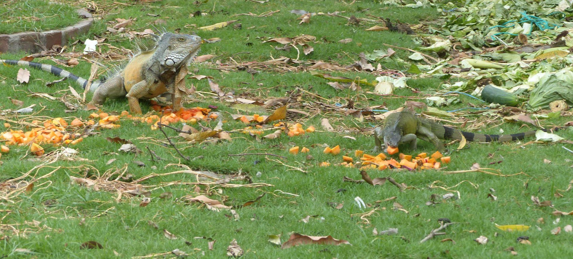 P2970844 iguanas y papaya