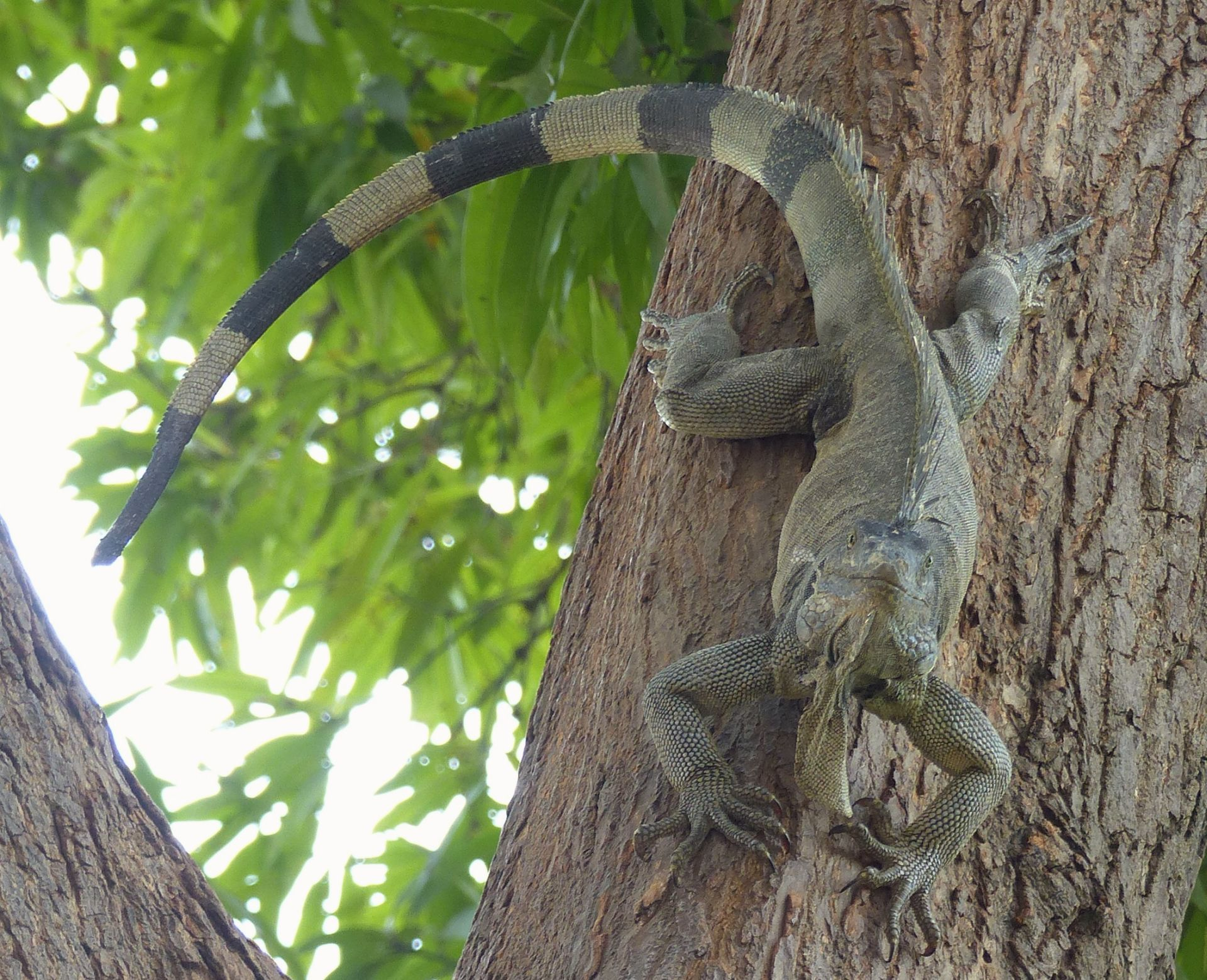 P2970903 iguana coming down tree