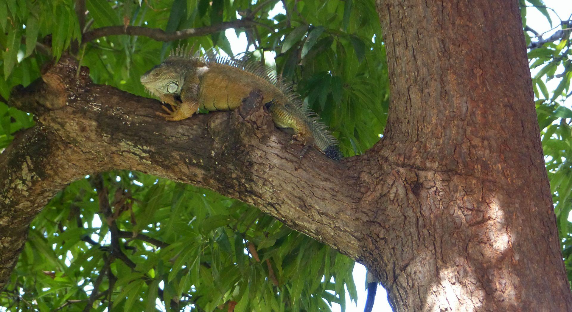 P2980057 arriba park iguana