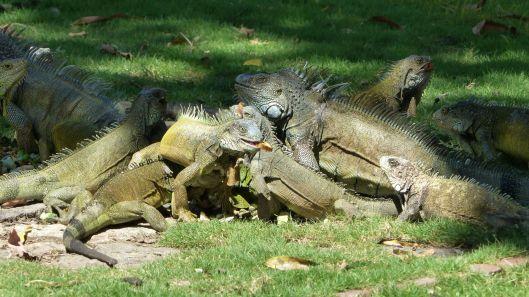 P2980089 hungry iguanas