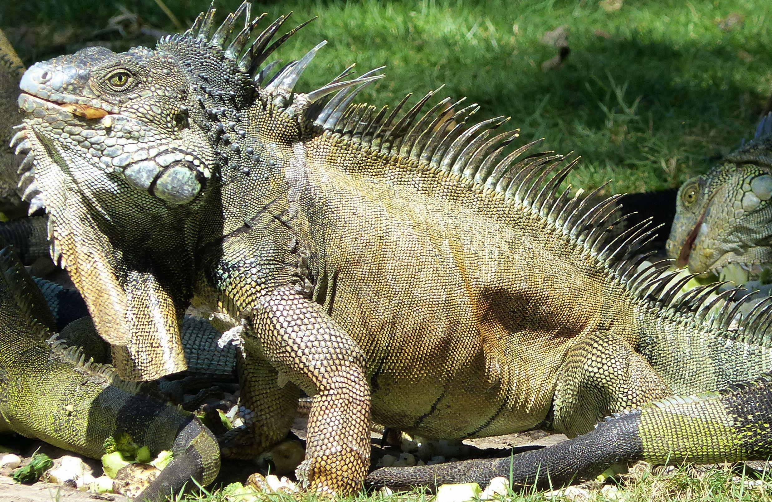 P2980102 cropped of hungry iguana